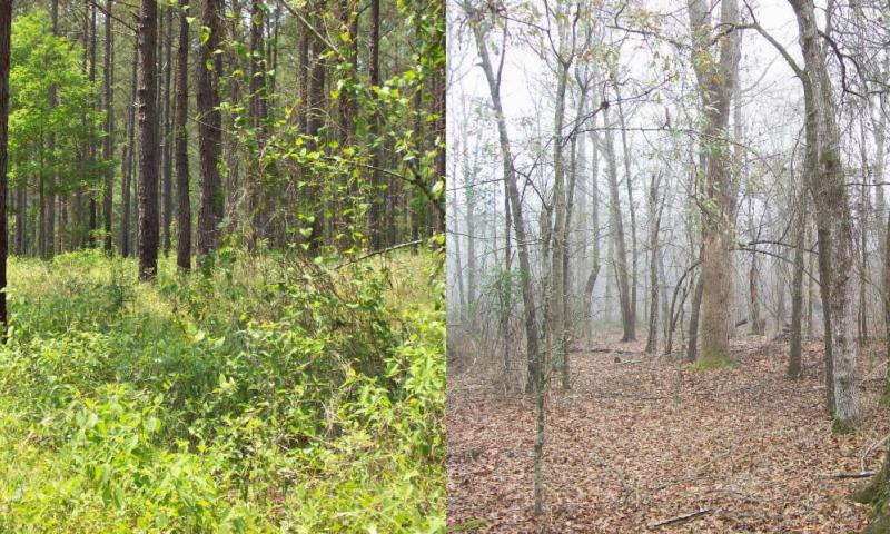 LEFT: Manage your woods to become this salad bar for deer and other wildlife. RIGHT: Example of a mature closed canopy hardwood stand with virtually no early succession habitat on the forest floor. Early succession habitat could easily be developed by select harvesting this stand, focusing on leaving quality oaks. Some areas could be left as is, some areas could be clearcut, some areas select harvested for habitat diversity.