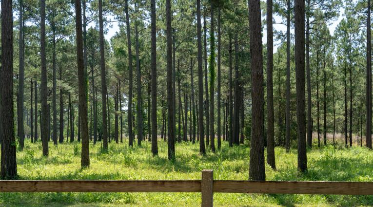 pine trees and fence